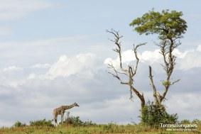 viajes-uganda-jirafa