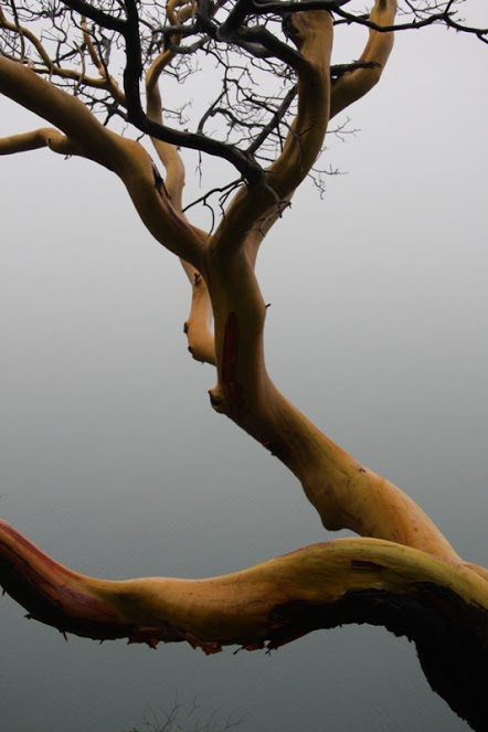 arbutus in fog 2 TW1101P by Terrill Welch IMG_4365