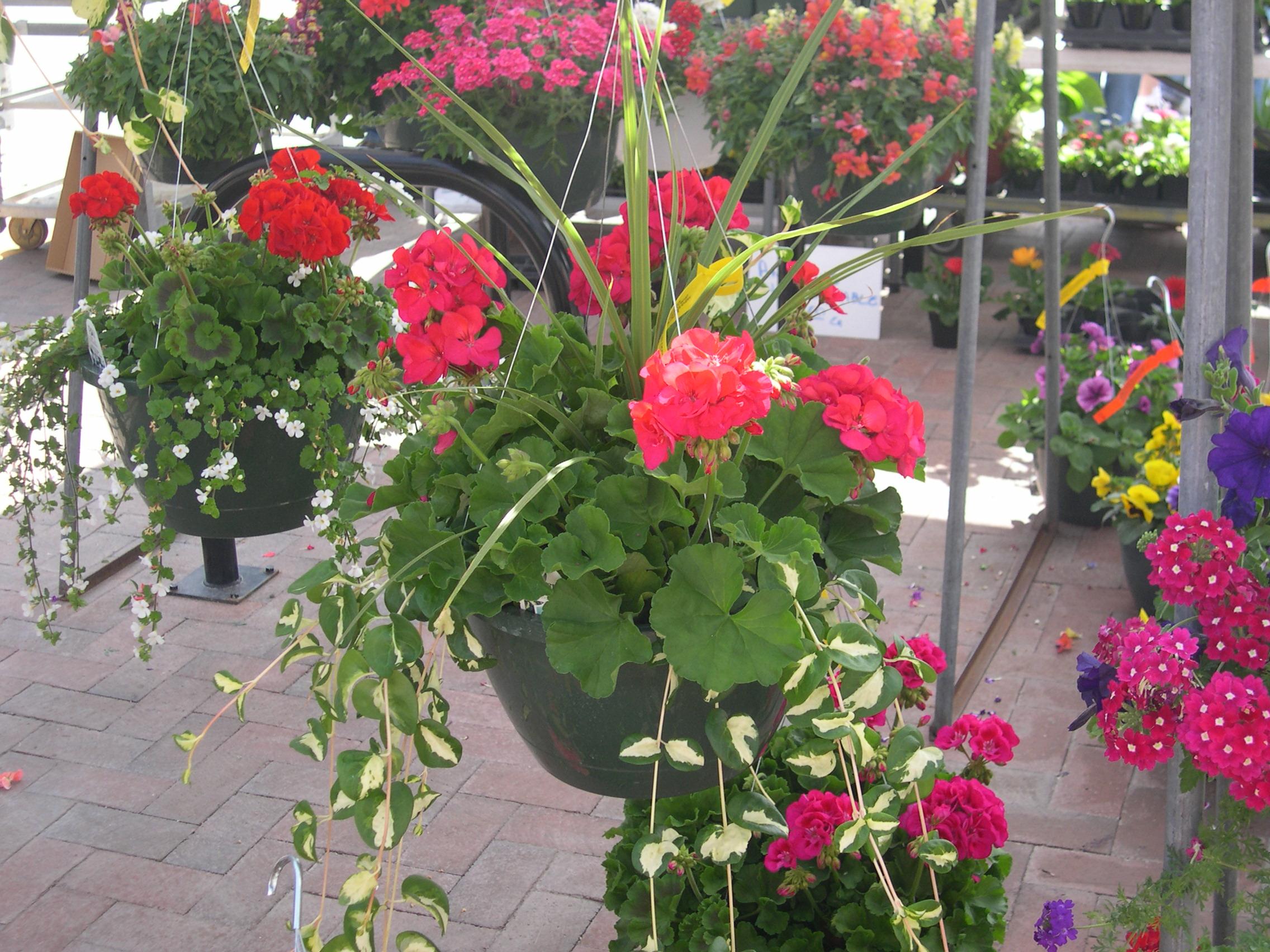 geranium baskets