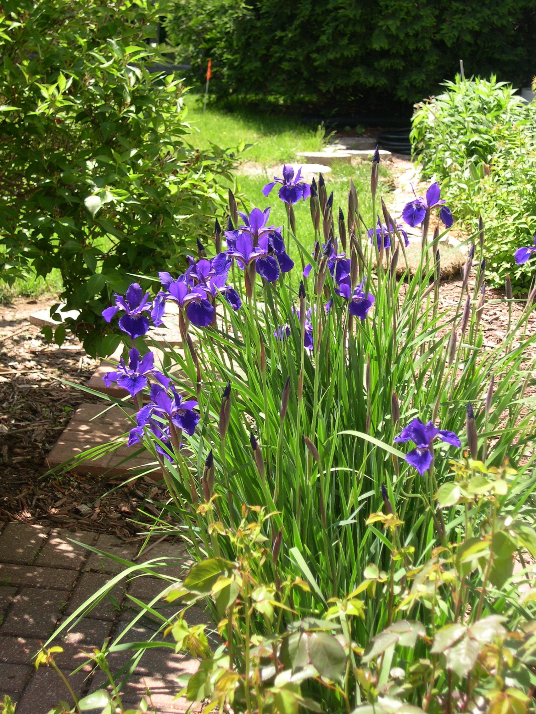 Siberian Irises getting bigger