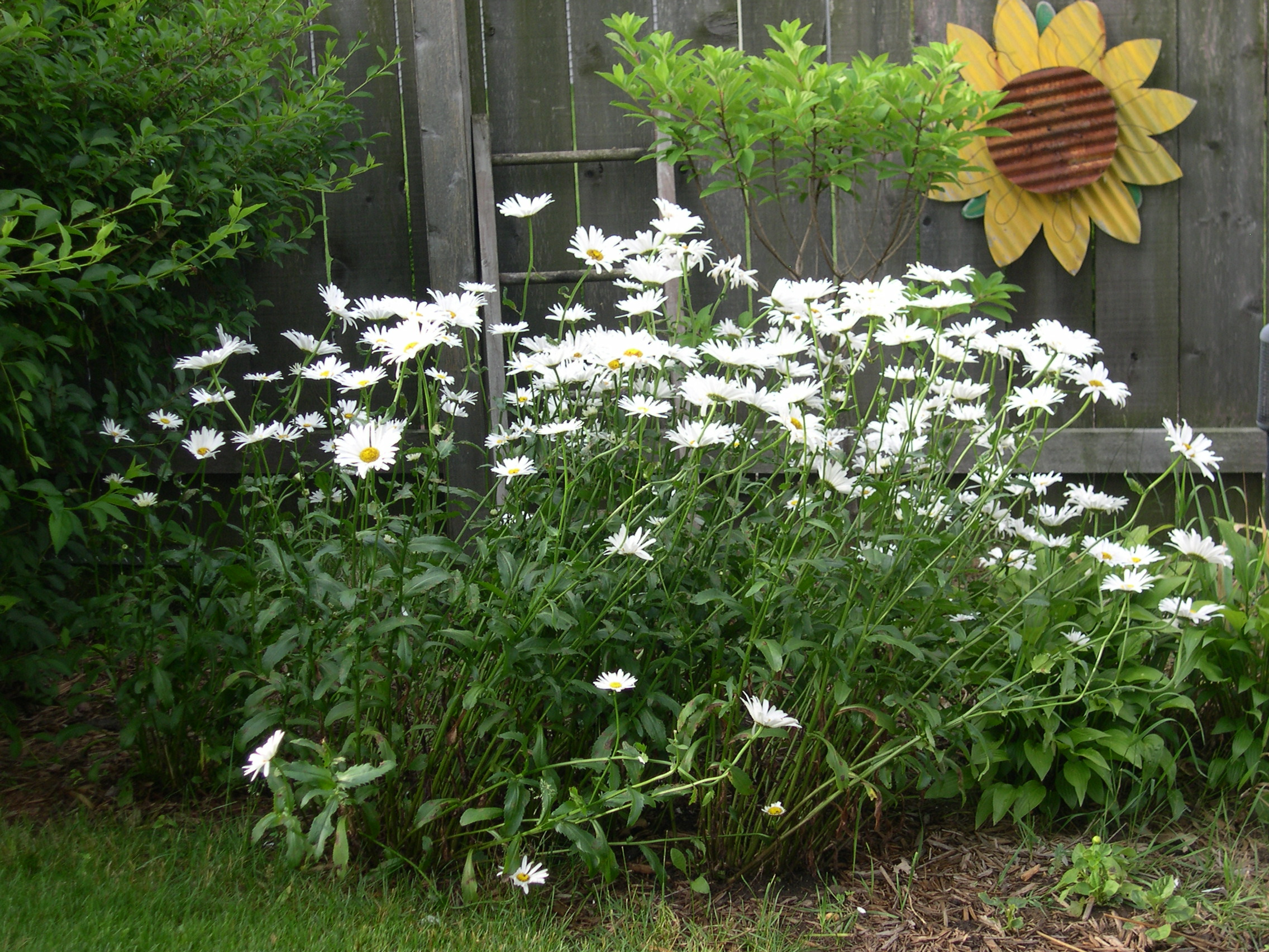 daisy flower bed