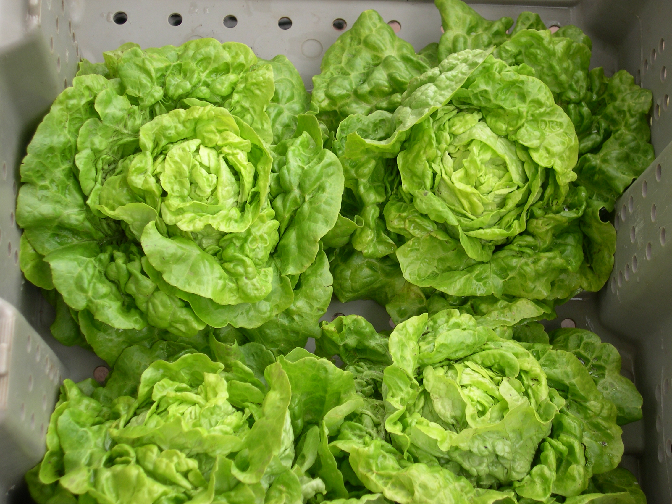 lettuce at market