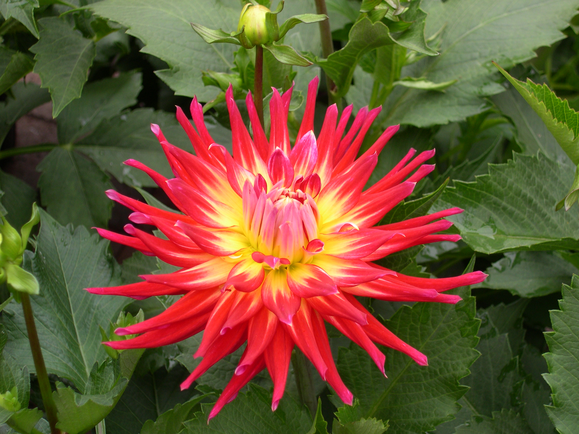 red dahlia at market