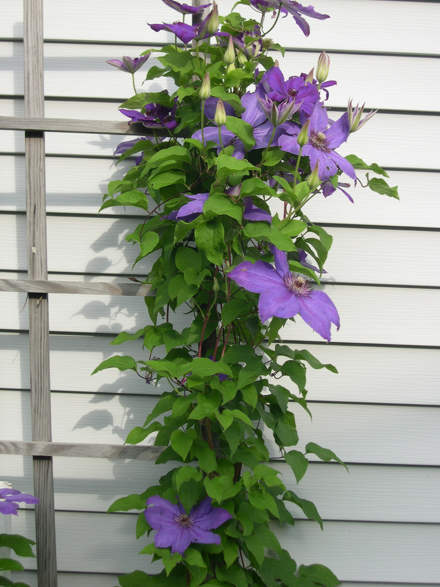 clematis reaching for the sky