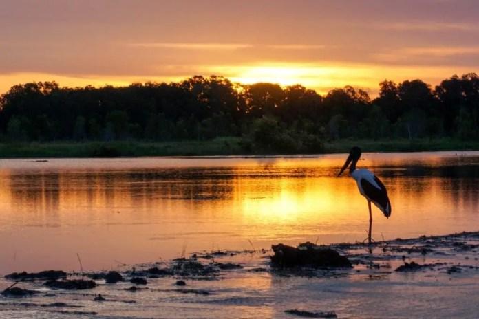 Jabiru at Fogg Dam Northern Territory