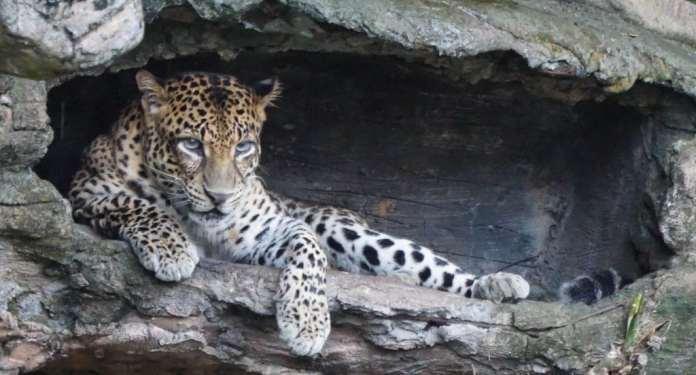 Javanese Leopard