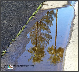 Sunshine on the palms and pine after a rainy night reflected in a puddle