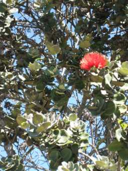 I've always thought that Ohia Everywhere would be a good title for a mystery
