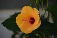 Captured this hibiscus in our front yard.