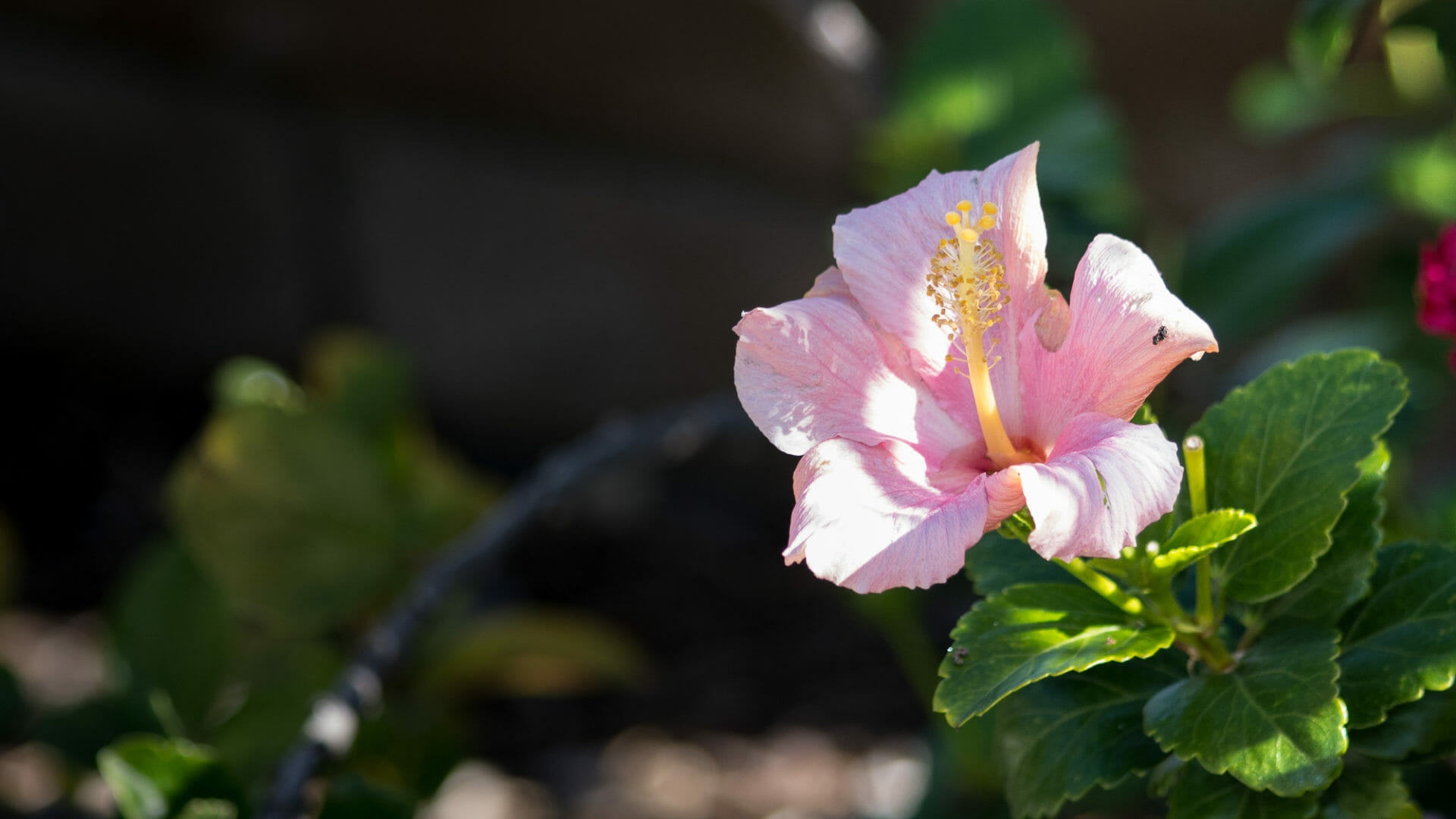 Pink Hibiscus from our back yard