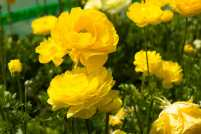 A yellow ranunculus for a Monday morning