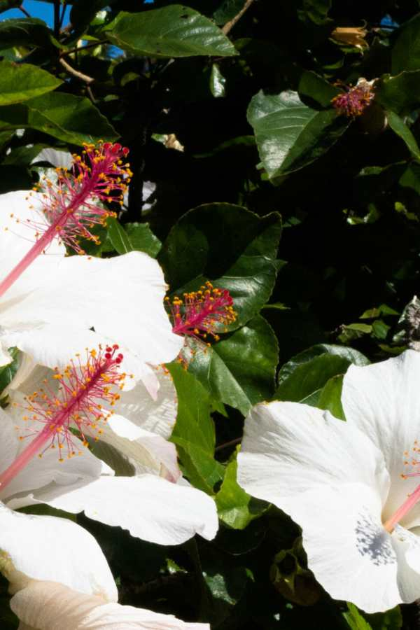 Friday Fotos — Honolulu white hibiscus