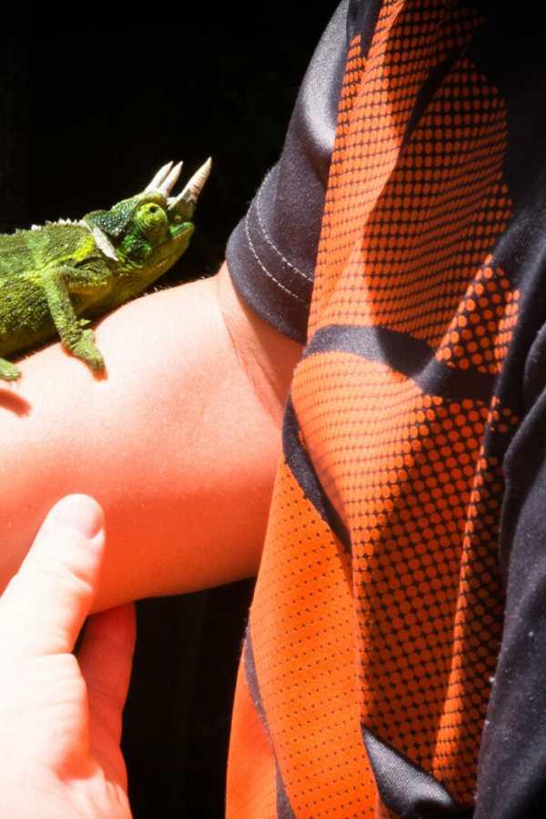 Friday Fotos – Akaka Falls Jacksons Chameleon attracts attention