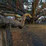 Friday Fotos – Banyan Tree in Lahaina