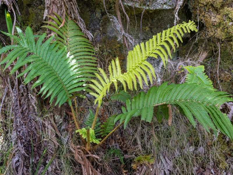 Fern growing out of tree at Volcanos National Park
