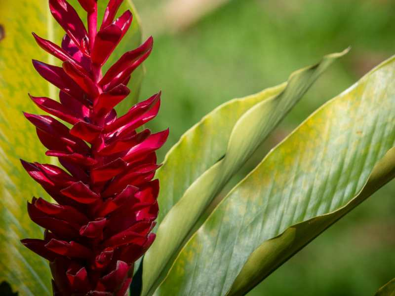 Hawaiian ginger is lovely at any time