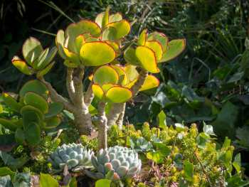 Succulents from the Monarch Cove Inn gardens