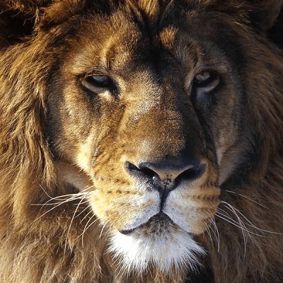 Zen Peapod Puzzle - Lion