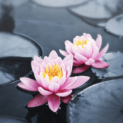 Lotus Blossoms-Small Puzzle by Zen