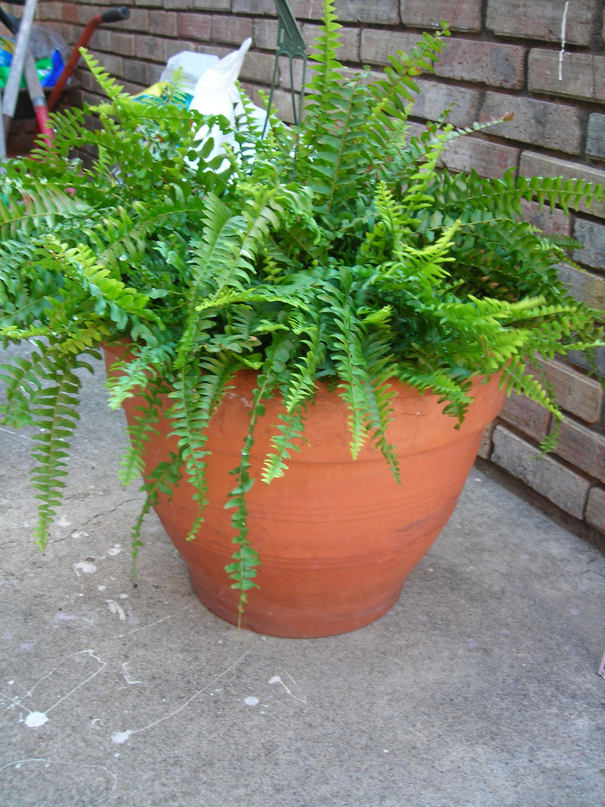 HUGE (the pic does NOT do the size justice) terra cotta pot from cindy's sale. yes, cindy ... i crammed my hanging fern into it for the pic