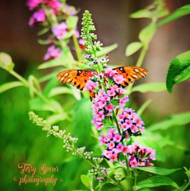 Gulf fritillary butterfly on kaleidoscope wings spread behind flower1 (792x800)