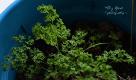 curly-parsley-900-005