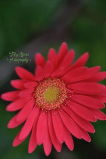 sweet-sixteen-gerbera-daisy-900_9022