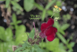 red snapdragon 900 010
