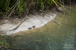 baby turtles 900 019