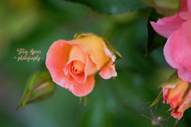macro peach rose and spider 900 040