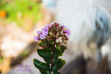 purple crepe myrtle 900 032