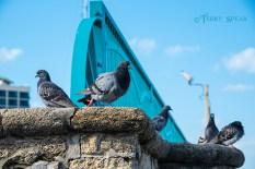 pigeons 900 Daytona Beach 153