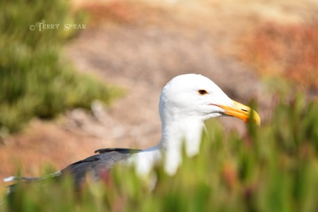 Seagull portrait 900 San Diego 3834