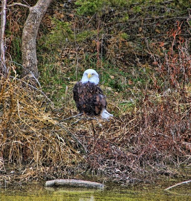 Eagle on ground spicify (611x640)