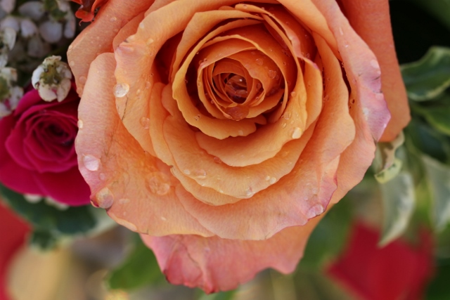 multicolored rose (640x427) (640x427)