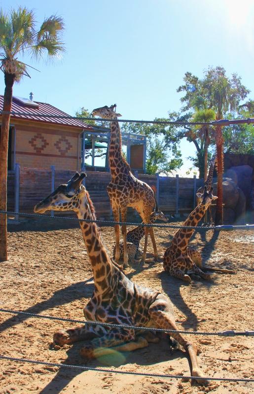 4 giraffes (515x800)