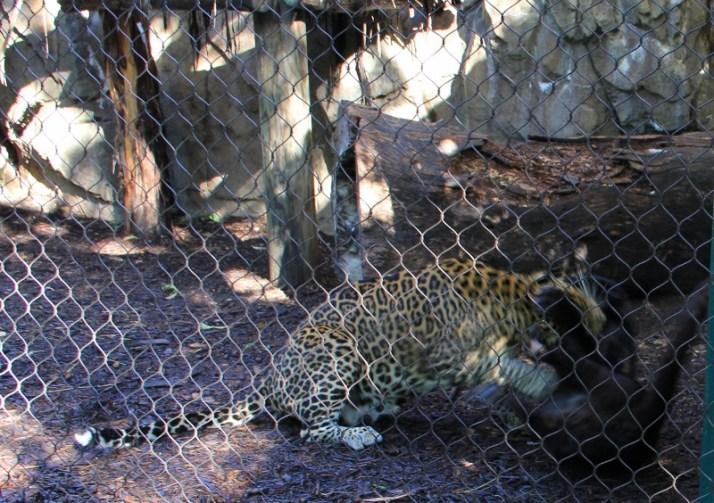 leopards fighting3 (800x564)