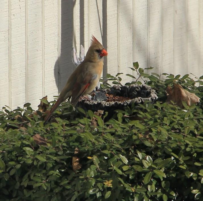 cardinal eating on feeder
