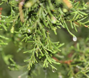 juniper dripping wet (640x562)