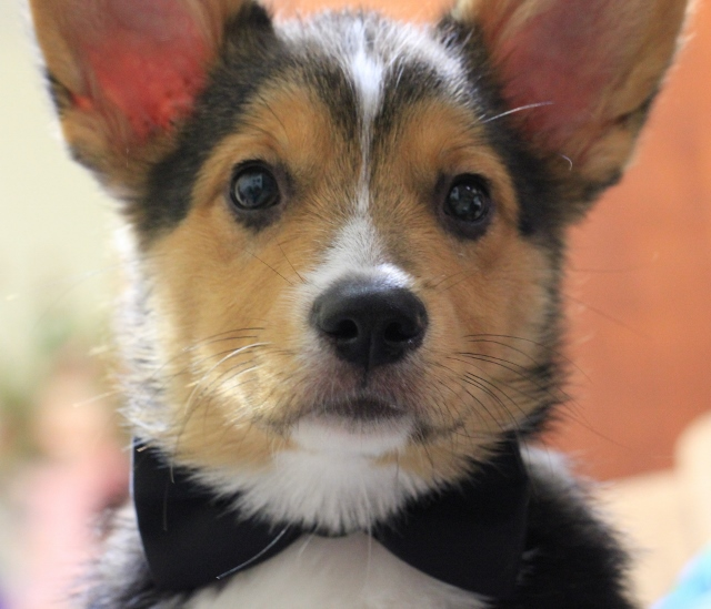 puppy with bowtie 029 (640x549)