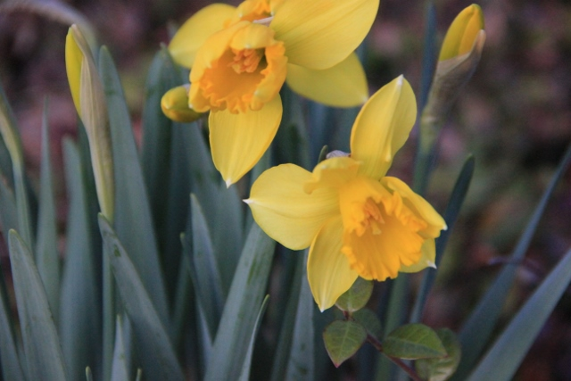 night time daffodils 005 (640x427)
