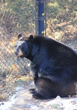 black bear (533x800) (2)