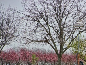 peach orchard and buds (640x485)