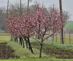 peach orchard - Copy (640x538)