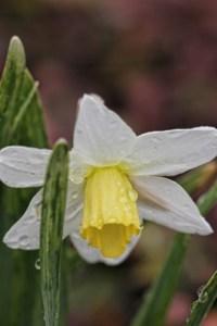 white daffodil 002 (427x640)