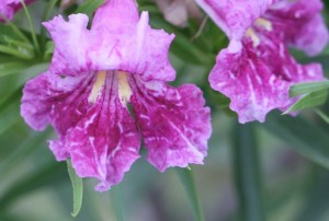 desert willow flower (640x433)