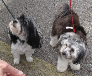 Havanese, Champion lef, Huckleberry, Lisa Wingate's left