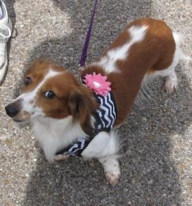 Miniature dachshound, Chloe