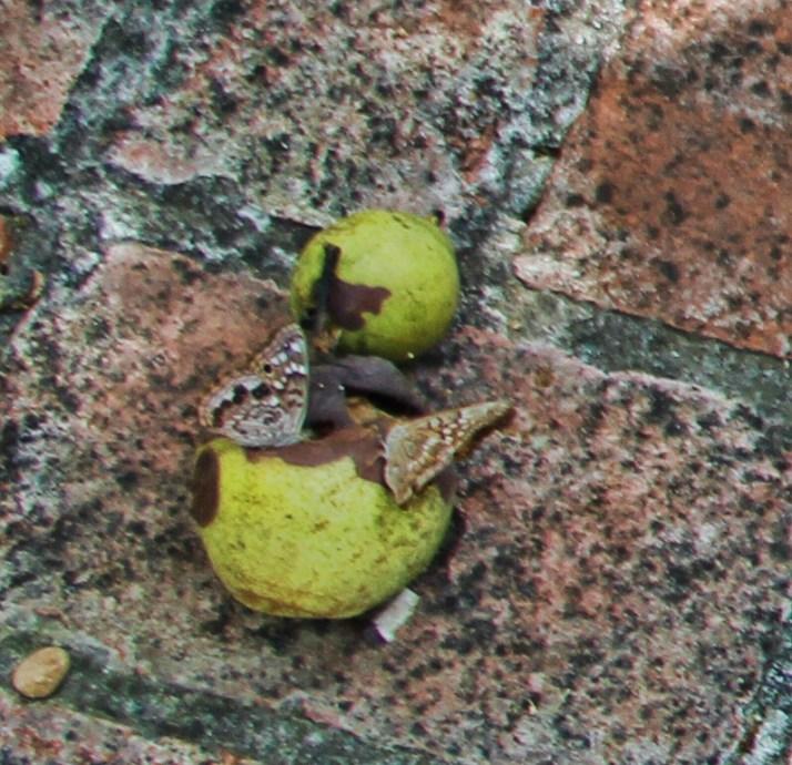 Tawny Emperor butterflies on pears3