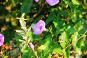 creeping vine, tubular flower (640x427)